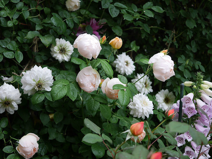 レディ・エマ・ハミルトン(木立バラ)の花がたくさん咲いた。2020年-013.jpg