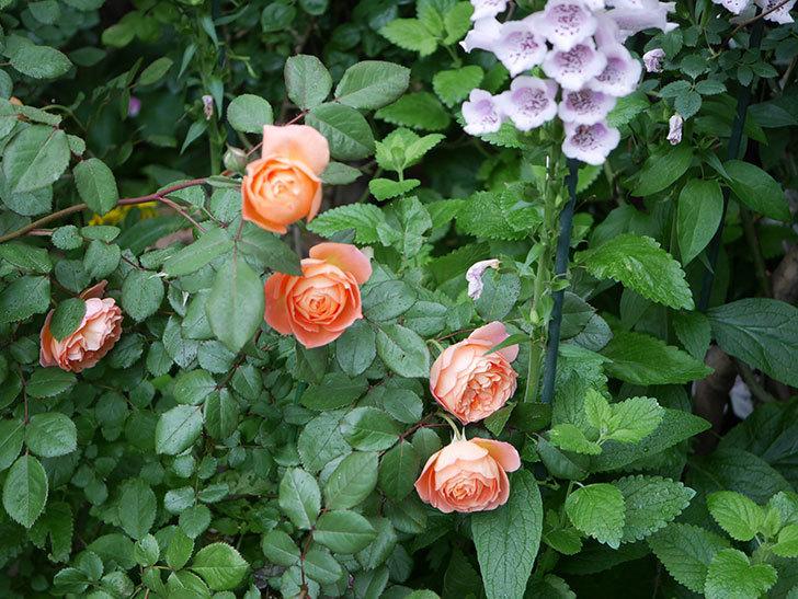 レディ・エマ・ハミルトン(木立バラ)の花がたくさん咲いた。2020年-015.jpg