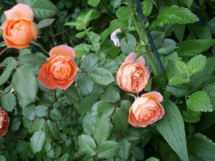 レディ・エマ・ハミルトン(木立バラ)の花がたくさん咲いた。2020年-016.jpg