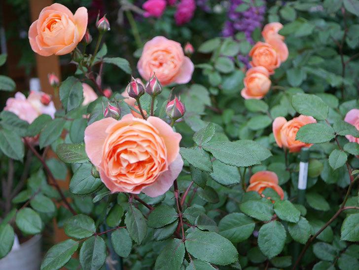 レディ・エマ・ハミルトン(木立バラ)の花がたくさん咲いた。2020年-018.jpg