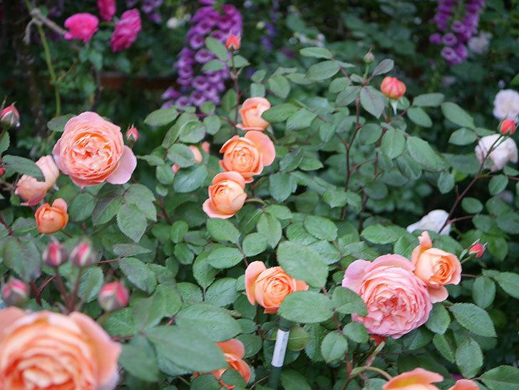 レディ・エマ・ハミルトン(木立バラ)の花がたくさん咲いた。2020年-019.jpg