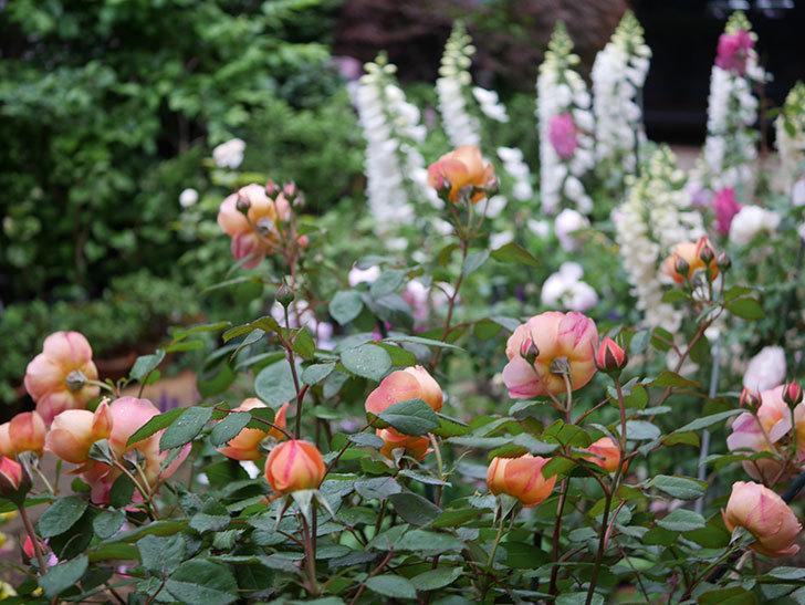 レディ・エマ・ハミルトン(木立バラ)の花がたくさん咲いた。2020年-021.jpg