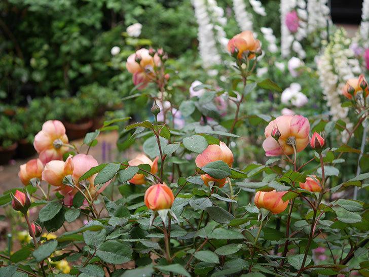 レディ・エマ・ハミルトン(木立バラ)の花がたくさん咲いた。2020年-022.jpg