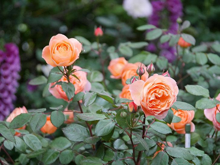 レディ・エマ・ハミルトン(木立バラ)の花がたくさん咲いた。2020年-023.jpg