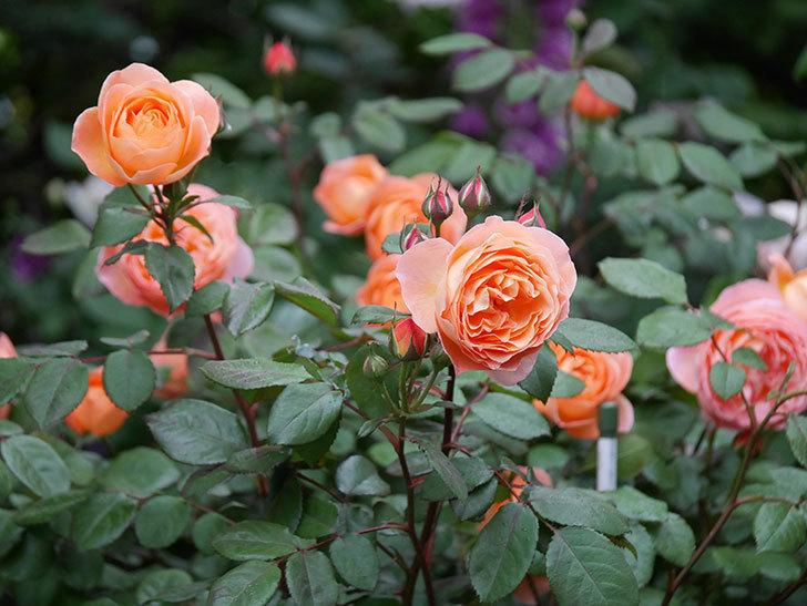 レディ・エマ・ハミルトン(木立バラ)の花がたくさん咲いた。2020年-024.jpg