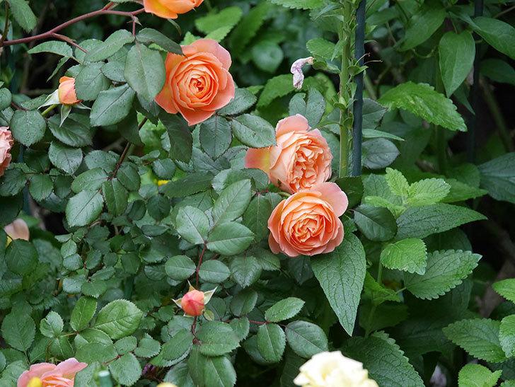レディ・エマ・ハミルトン(木立バラ)の花がたくさん咲いた。2020年-025.jpg
