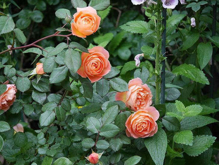 レディ・エマ・ハミルトン(木立バラ)の花がたくさん咲いた。2020年-026.jpg