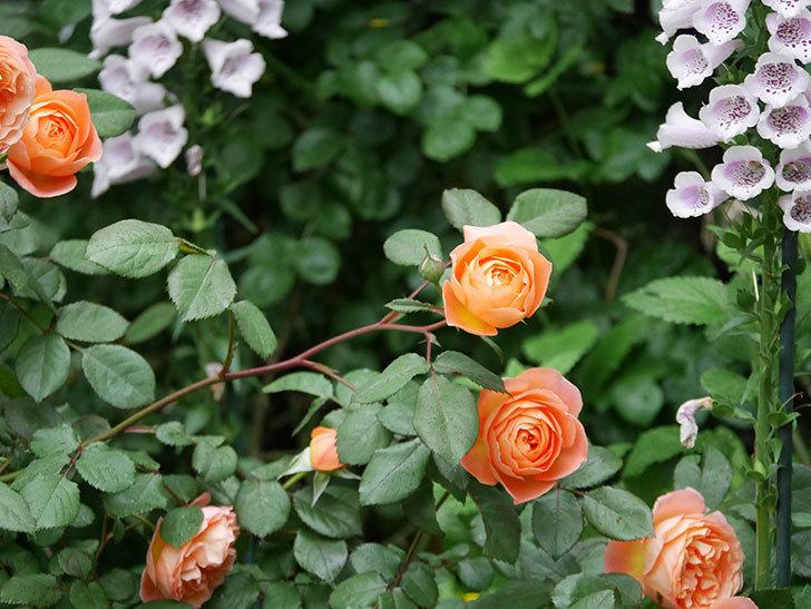 レディ・エマ・ハミルトン(木立バラ)の花がたくさん咲いた。2020年-027.jpg