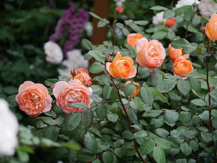 レディ・エマ・ハミルトン(木立バラ)の花がたくさん咲いた。2020年-028.jpg