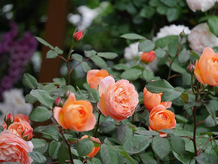 レディ・エマ・ハミルトン(木立バラ)の花がたくさん咲いた。2020年-029.jpg