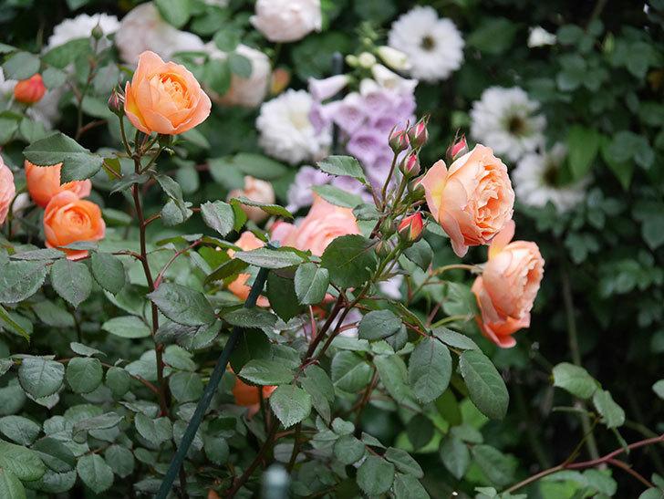 レディ・エマ・ハミルトン(木立バラ)の花がたくさん咲いた。2020年-030.jpg