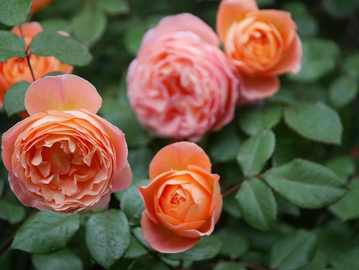 レディ・エマ・ハミルトン(木立バラ)の花がたくさん咲いた。2020年-031.jpg