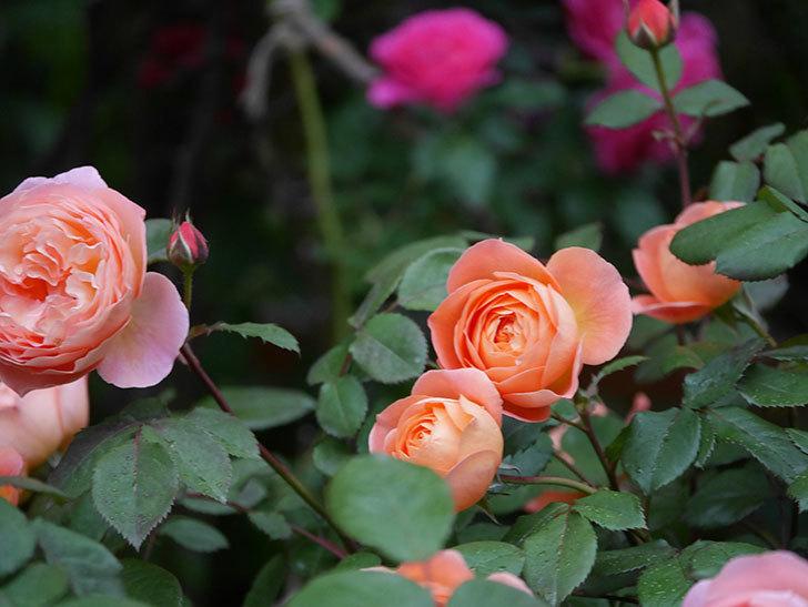 レディ・エマ・ハミルトン(木立バラ)の花がたくさん咲いた。2020年-032.jpg