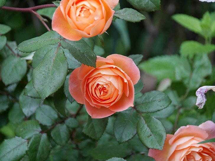 レディ・エマ・ハミルトン(木立バラ)の花がたくさん咲いた。2020年-033.jpg