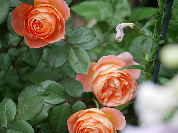 レディ・エマ・ハミルトン(木立バラ)の花がたくさん咲いた。2020年-034.jpg