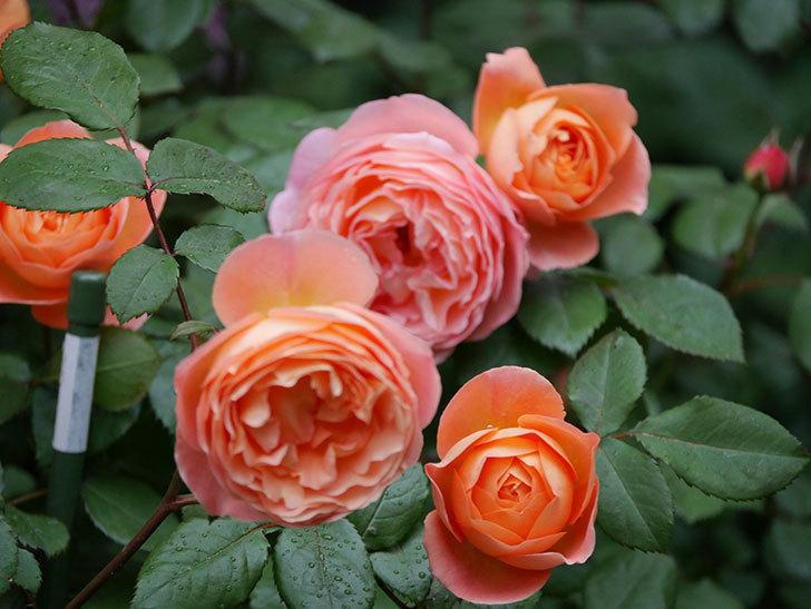 レディ・エマ・ハミルトン(木立バラ)の花がたくさん咲いた。2020年-035.jpg