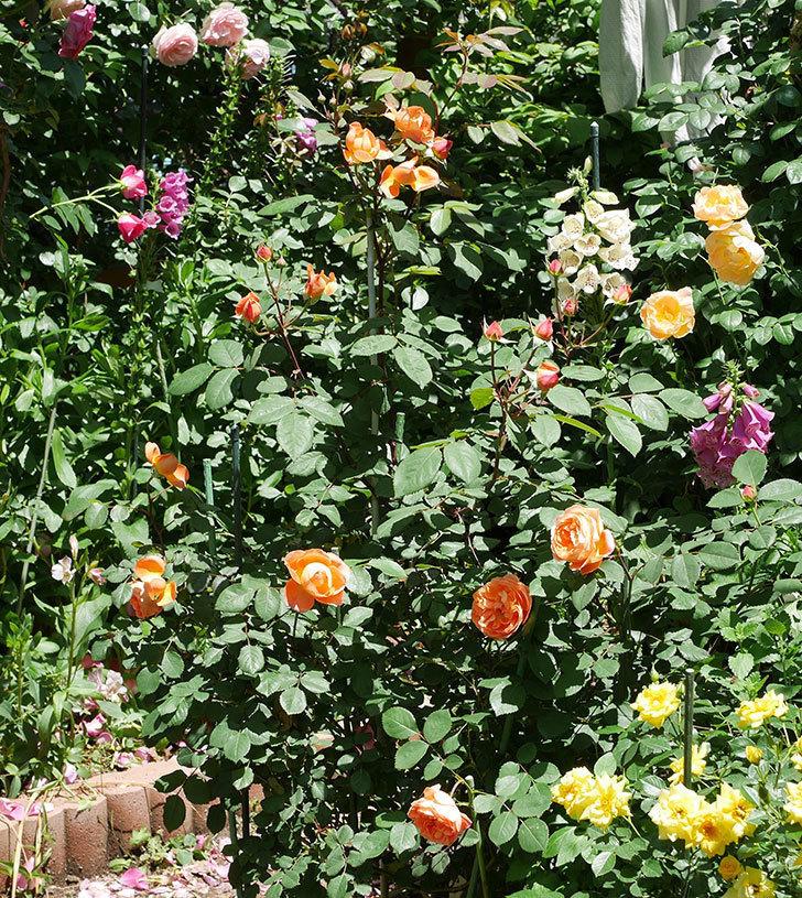 レディ・エマ・ハミルトン(木立バラ)の花がまた咲いた。2019年-1.jpg