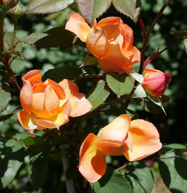 レディ・エマ・ハミルトン(木立バラ)の花がまた咲いた。2019年-10.jpg