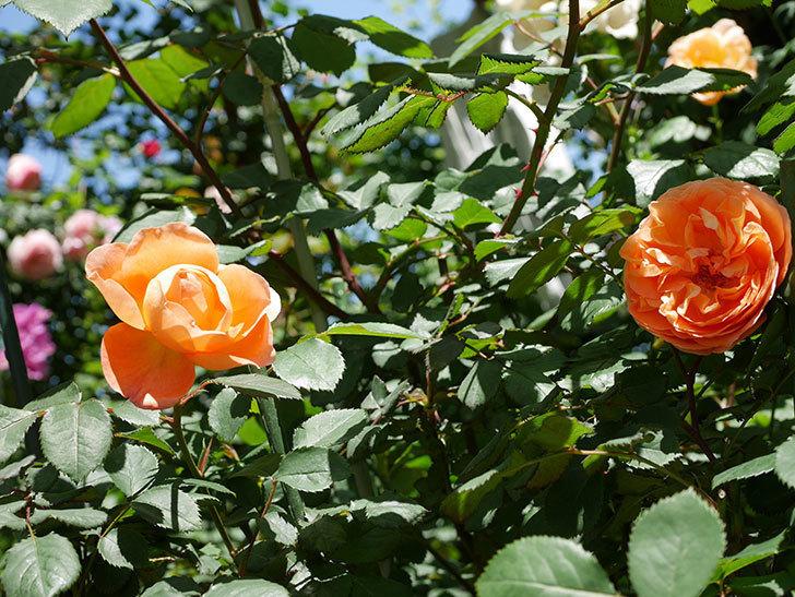 レディ・エマ・ハミルトン(木立バラ)の花がまた咲いた。2019年-13.jpg