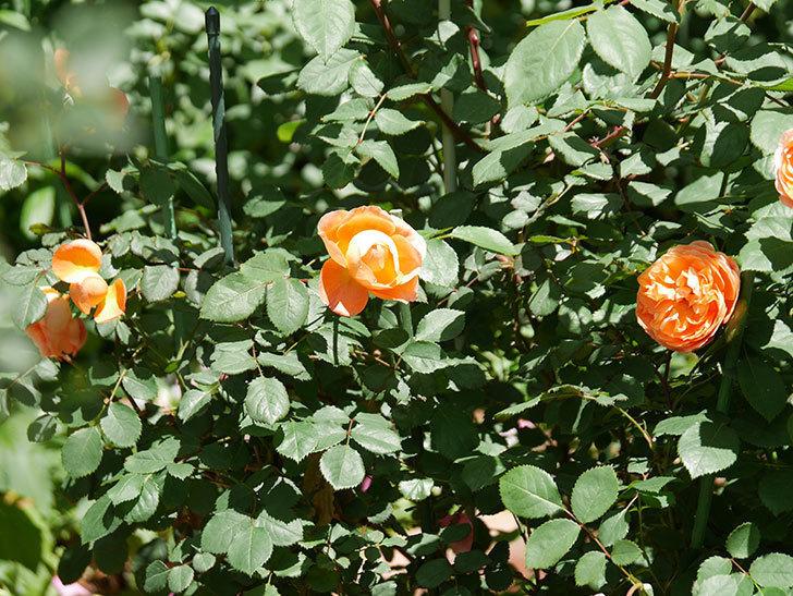 レディ・エマ・ハミルトン(木立バラ)の花がまた咲いた。2019年-14.jpg