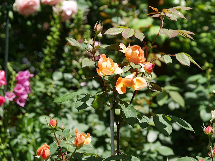レディ・エマ・ハミルトン(木立バラ)の花がまた咲いた。2019年-16.jpg