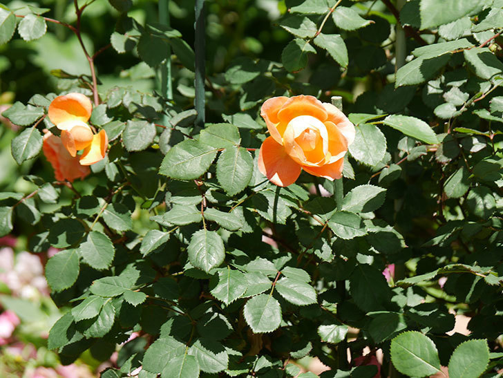 レディ・エマ・ハミルトン(木立バラ)の花がまた咲いた。2019年-18.jpg
