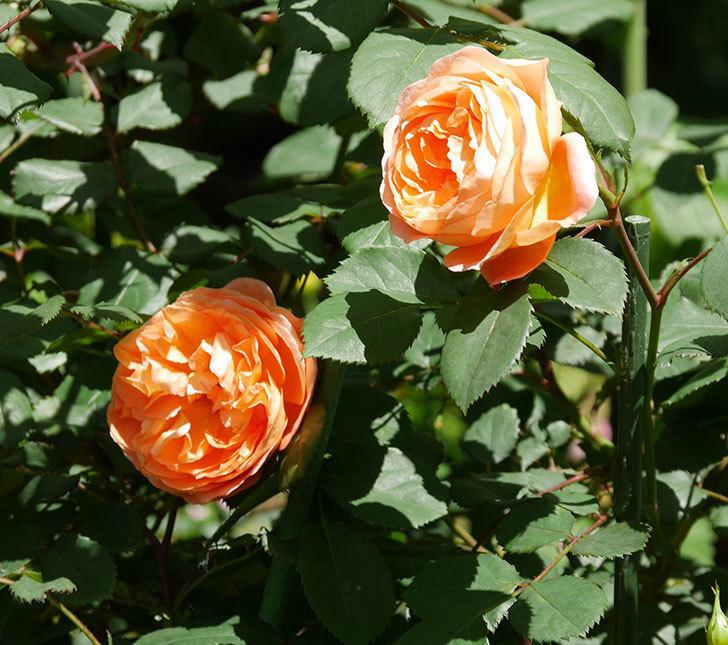 レディ・エマ・ハミルトン(木立バラ)の花がまた咲いた。2019年-19.jpg