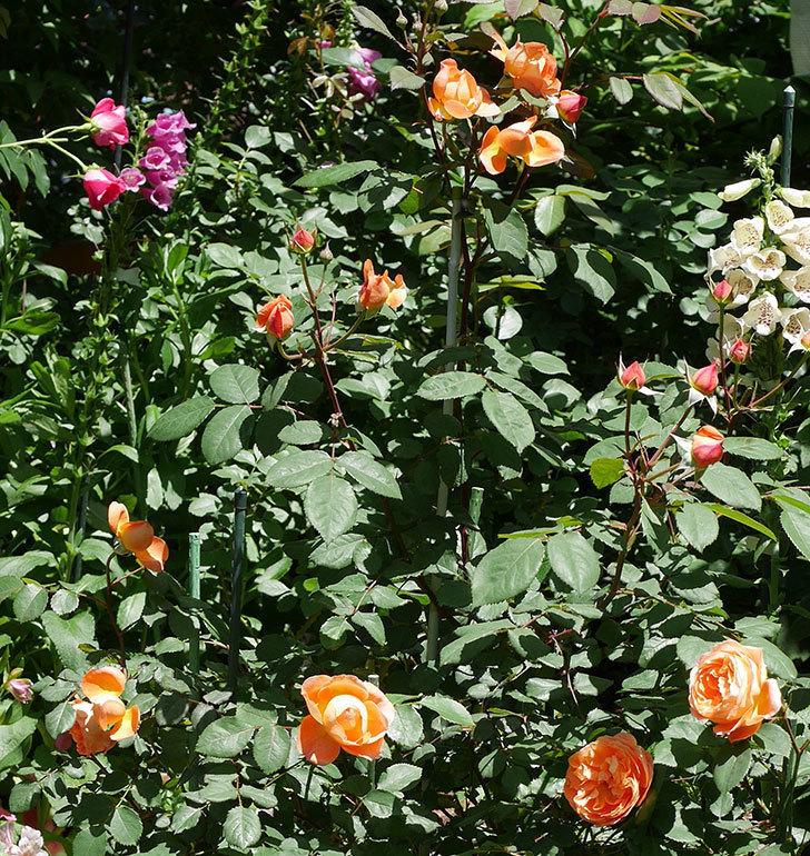 レディ・エマ・ハミルトン(木立バラ)の花がまた咲いた。2019年-2.jpg