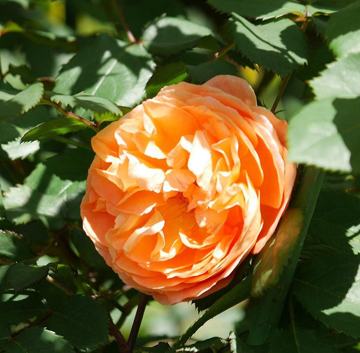 レディ・エマ・ハミルトン(木立バラ)の花がまた咲いた。2019年-20.jpg