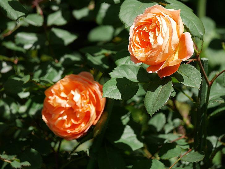 レディ・エマ・ハミルトン(木立バラ)の花がまた咲いた。2019年-21.jpg