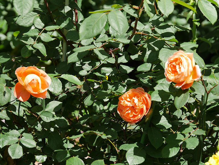 レディ・エマ・ハミルトン(木立バラ)の花がまた咲いた。2019年-22.jpg