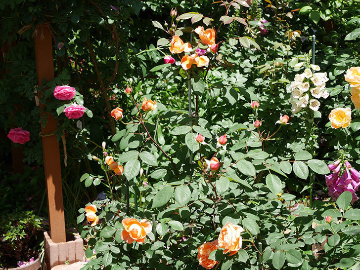 レディ・エマ・ハミルトン(木立バラ)の花がまた咲いた。2019年-3.jpg