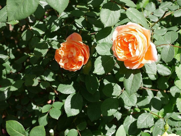 レディ・エマ・ハミルトン(木立バラ)の花がまた咲いた。2019年-4.jpg