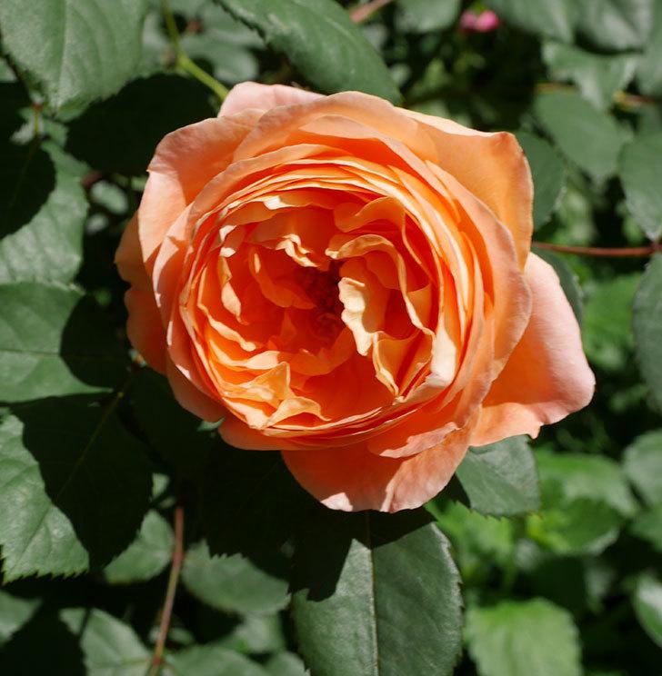レディ・エマ・ハミルトン(木立バラ)の花がまた咲いた。2019年-5.jpg