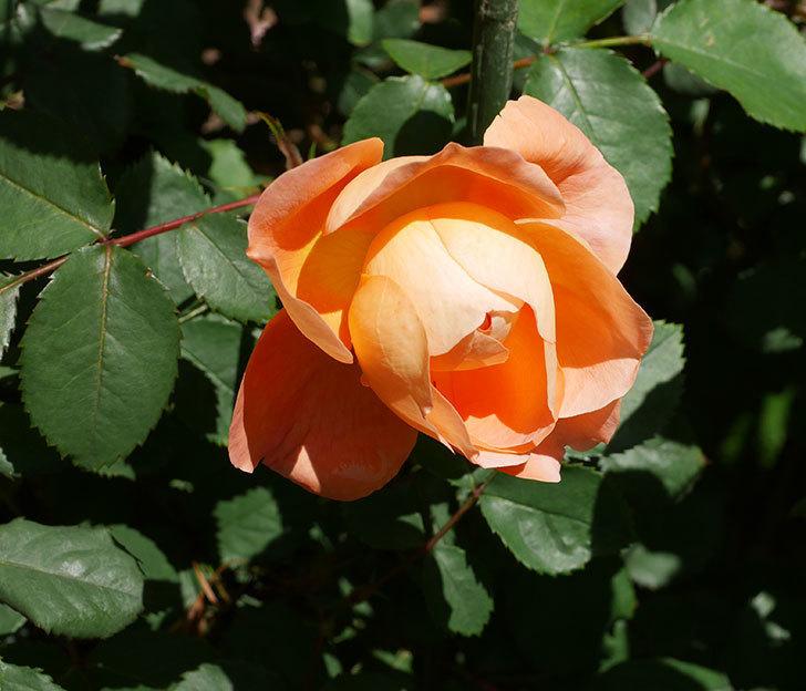 レディ・エマ・ハミルトン(木立バラ)の花がまた咲いた。2019年-6.jpg