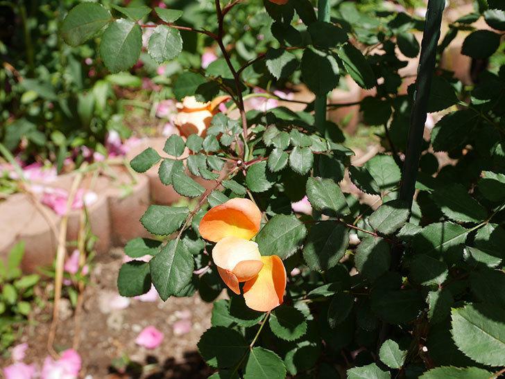 レディ・エマ・ハミルトン(木立バラ)の花がまた咲いた。2019年-7.jpg