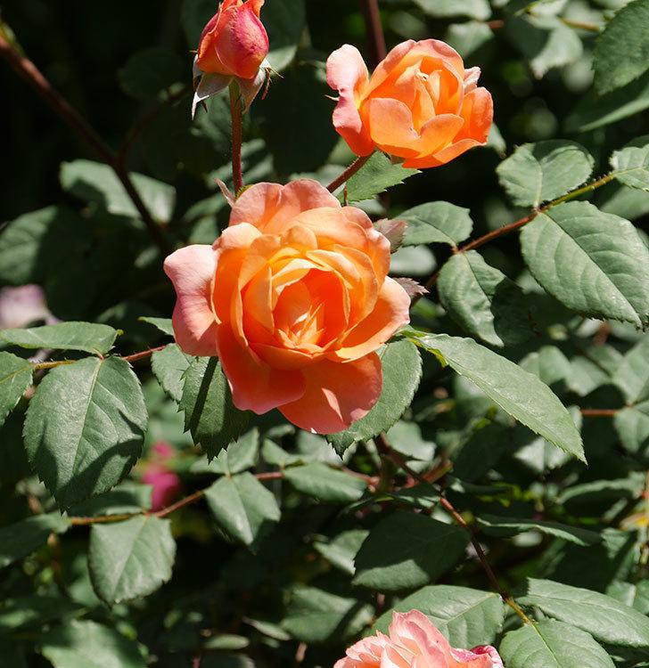 レディ・エマ・ハミルトン(木立バラ)の花がまた増えて来た。2019年-10.jpg