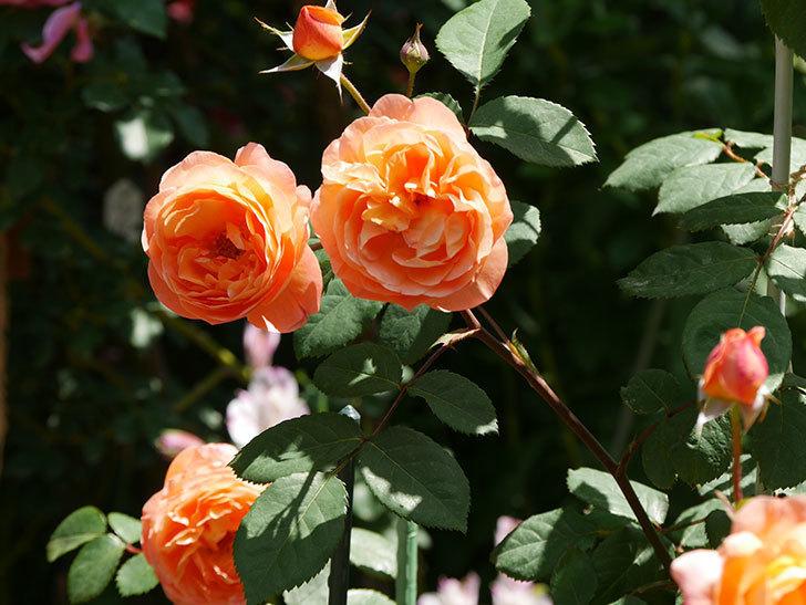 レディ・エマ・ハミルトン(木立バラ)の花がまた増えて来た。2019年-11.jpg