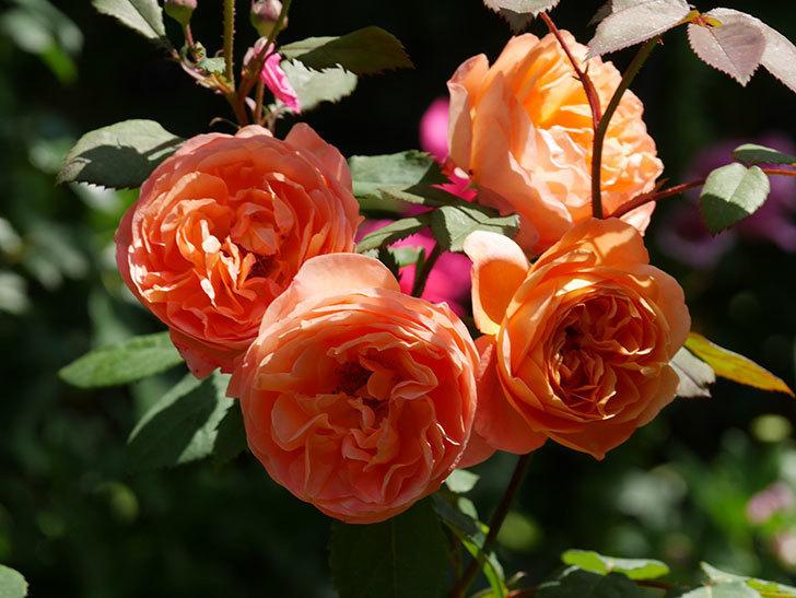 レディ・エマ・ハミルトン(木立バラ)の花がまた増えて来た。2019年-12.jpg