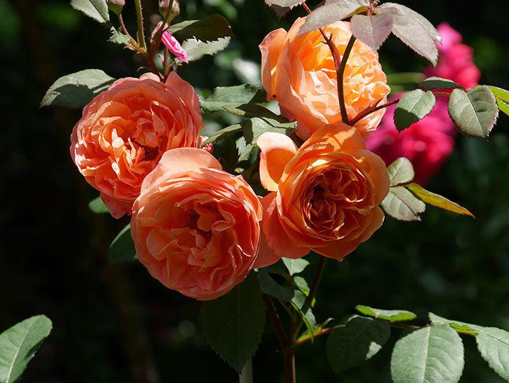 レディ・エマ・ハミルトン(木立バラ)の花がまた増えて来た。2019年-13.jpg