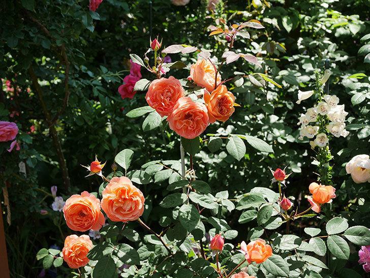 レディ・エマ・ハミルトン(木立バラ)の花がまた増えて来た。2019年-14.jpg