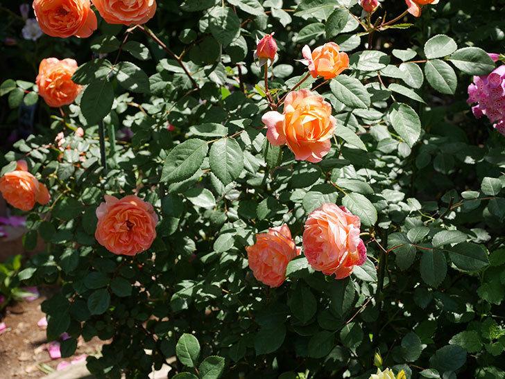 レディ・エマ・ハミルトン(木立バラ)の花がまた増えて来た。2019年-15.jpg