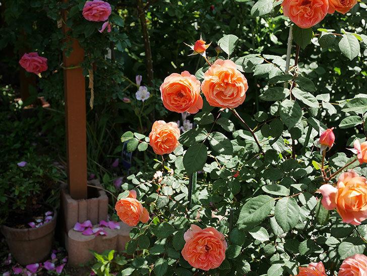 レディ・エマ・ハミルトン(木立バラ)の花がまた増えて来た。2019年-16.jpg
