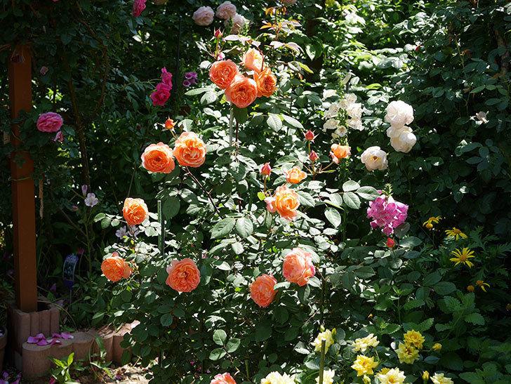 レディ・エマ・ハミルトン(木立バラ)の花がまた増えて来た。2019年-17.jpg