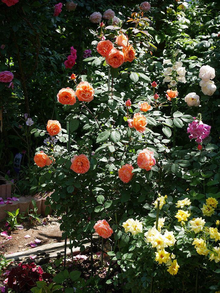 レディ・エマ・ハミルトン(木立バラ)の花がまた増えて来た。2019年-18.jpg