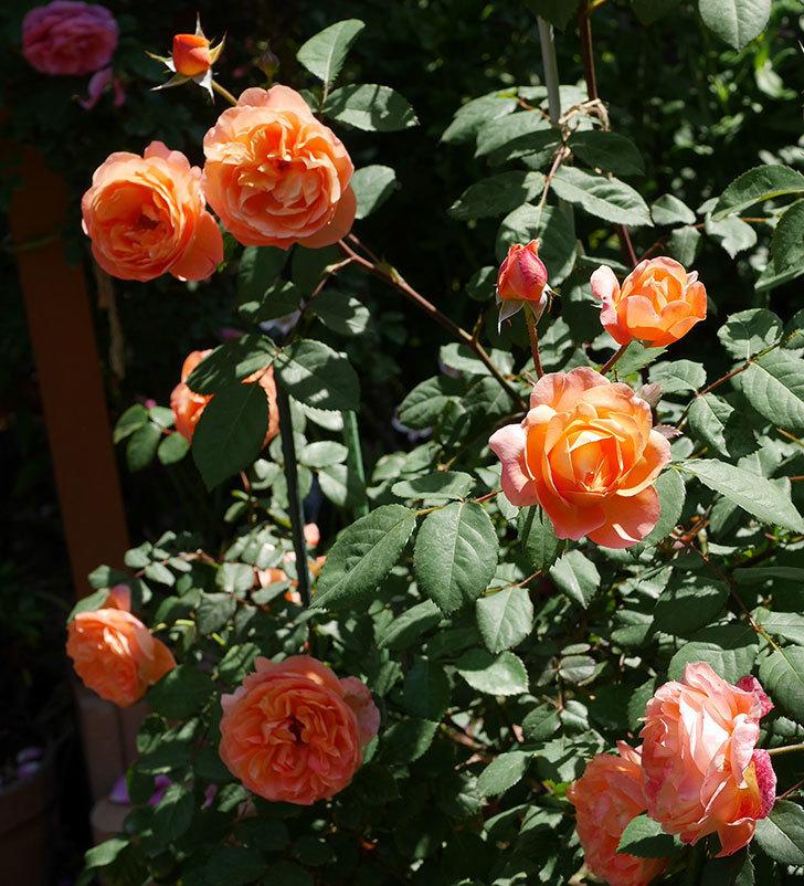 レディ・エマ・ハミルトン(木立バラ)の花がまた増えて来た。2019年-19.jpg