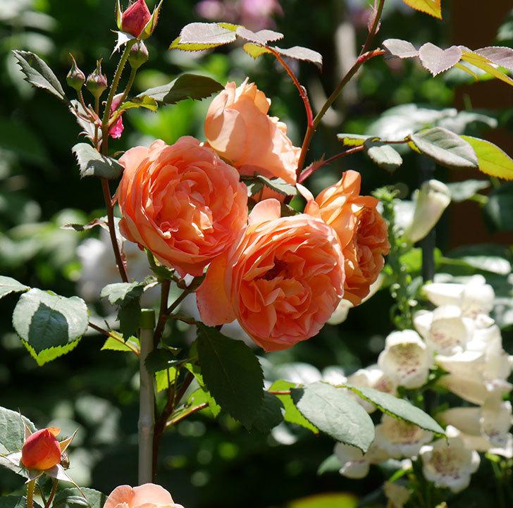 レディ・エマ・ハミルトン(木立バラ)の花がまた増えて来た。2019年-2.jpg