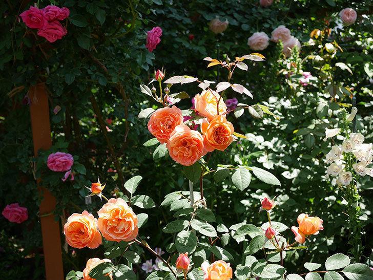レディ・エマ・ハミルトン(木立バラ)の花がまた増えて来た。2019年-20.jpg
