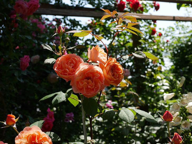 レディ・エマ・ハミルトン(木立バラ)の花がまた増えて来た。2019年-21.jpg