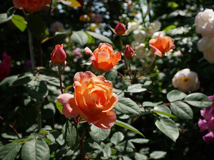 レディ・エマ・ハミルトン(木立バラ)の花がまた増えて来た。2019年-22.jpg